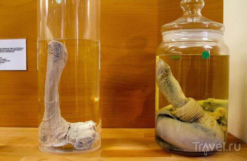 Самый большой музей пенисов в мире / Исландия