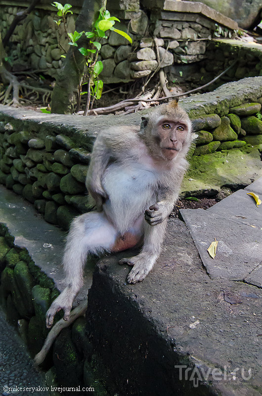 Лес обезьян в Убуде, Индонезия / Фото из Индонезии