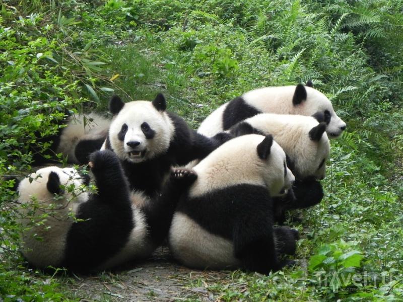 Панда или черно-белый котолап / Фото из Китая