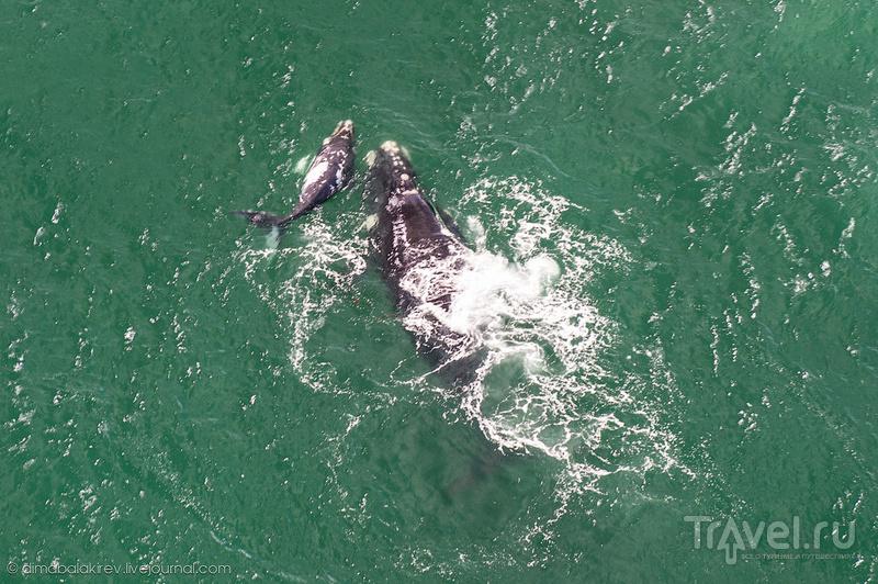 Южные Гладкие киты с самолёта / Фото из ЮАР