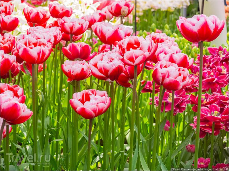 Парк Кёкенхоф / Фото из Нидерландов