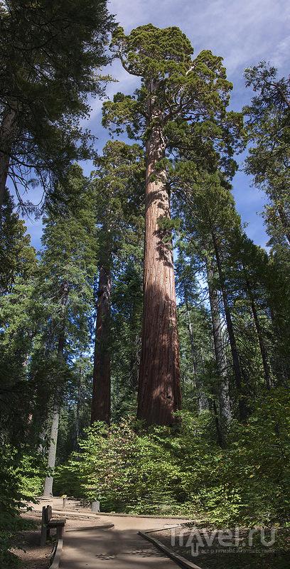 Большие и очень большие деревья! / США