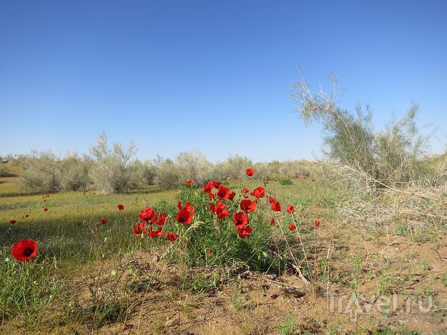 Алые маки пустыни Кызылкум / Узбекистан