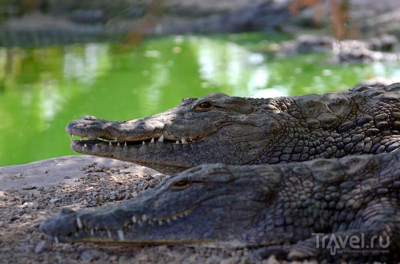 На крокодильей ферме в Израиле / Фото из Израиля