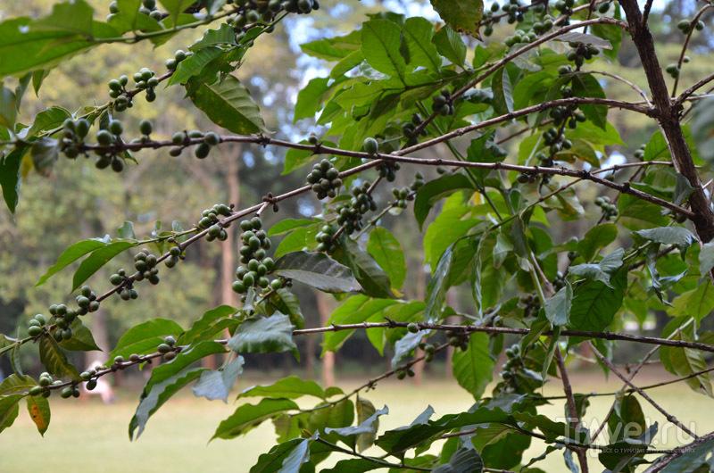 Кофейное дерево / Фото из Кении