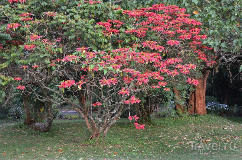 Пуансеттия в саду Карен Бликсен / Фото из Кении