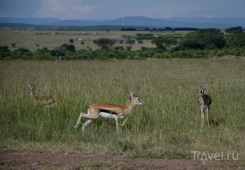 В национальном парке Масаи-Мара, Кения / Фото из Кении