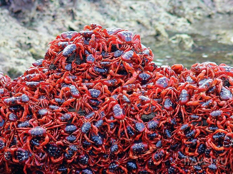 Количество мигрирующих крабов достигает 120 миллионов особей, Австралия / Австралия