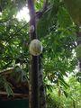Экзотический плод / Шри-Ланка