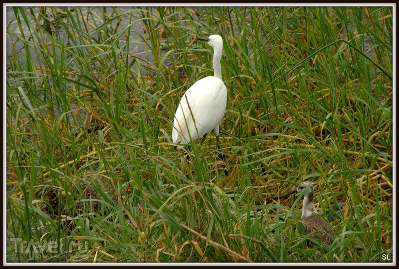 Малая белая цапля (Egretta garzetta)  в Эфиопии / Фото из Эфиопии