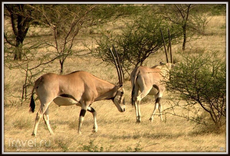 Oryx beisa в Эфиопии / Фото из Эфиопии