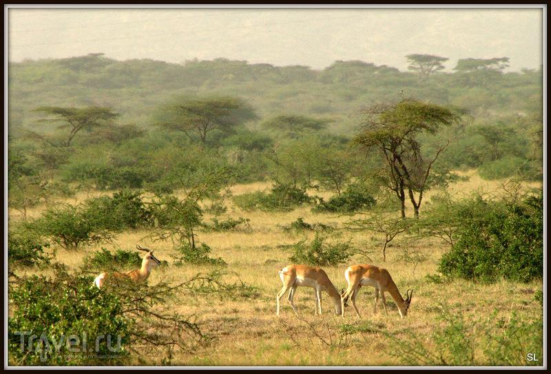 Газель Сомеринга (Gazella soemmeringii) в Эфиопии / Фото из Эфиопии