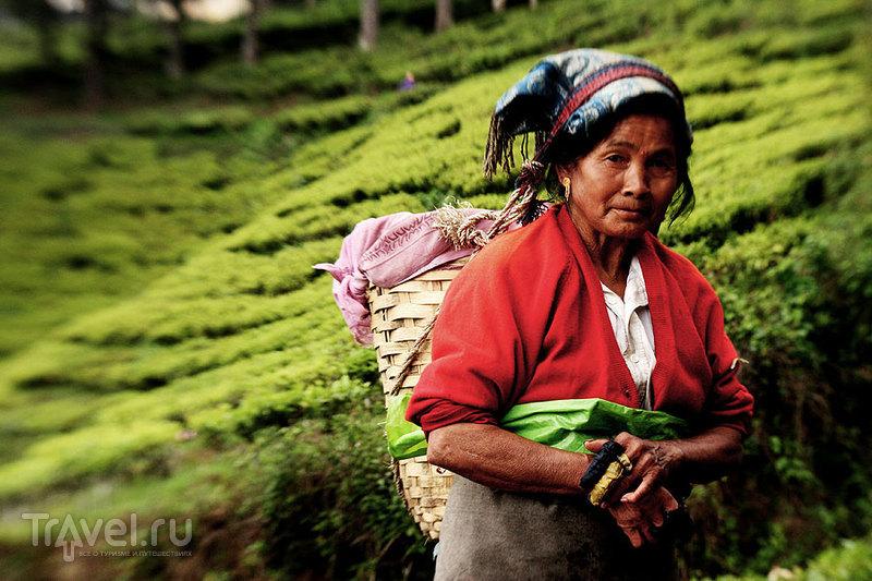 Сборщица чайного листа. Обратите внимание на руки / Индия