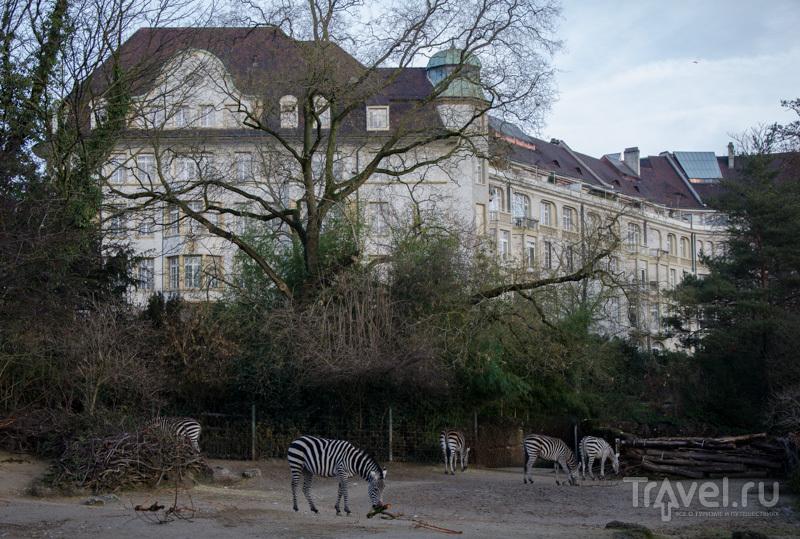 Зебры в базельском зоопарке / Фото из Швейцарии