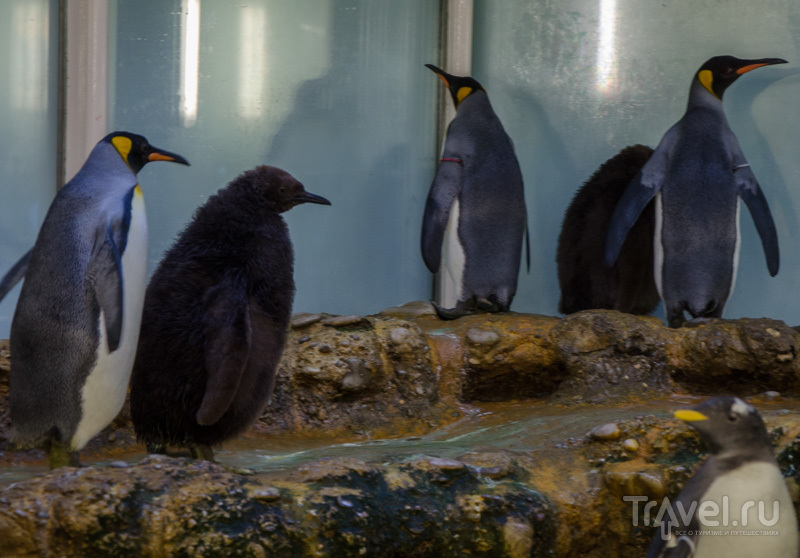 Пингвины и детеныши / Фото из Швейцарии