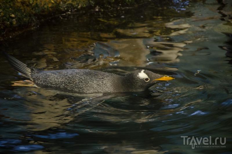Папуанский пингвин генту / Фото из Швейцарии