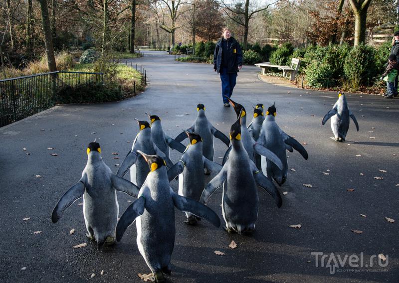 Королевские пингвины в зоопарке Базеля / Фото из Швейцарии