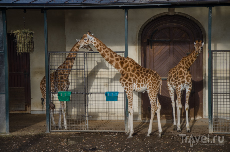 Жирафы в Базеле / Фото из Швейцарии