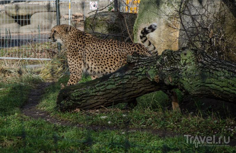 Гепард в базельском вольере / Фото из Швейцарии
