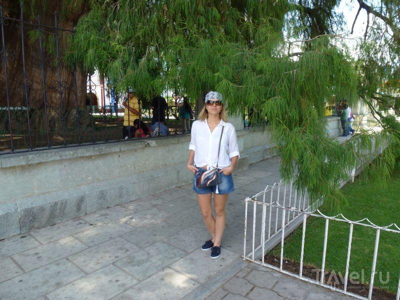 Старое большое дерево / Мексика