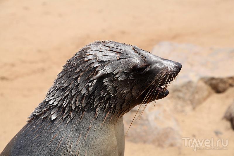 Намибия. Cape Cross. Колония морских котиков / Намибия