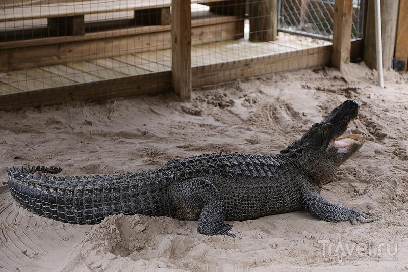 В гостях у аллигаторов / США