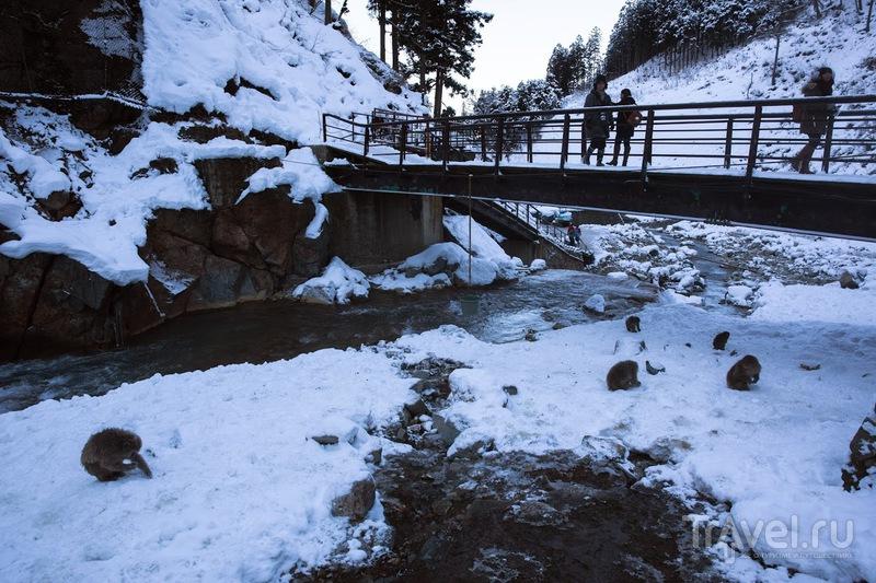 Япония зимой. Jigokudani Monkey Park. Обезьяны в горячих источниках / Япония