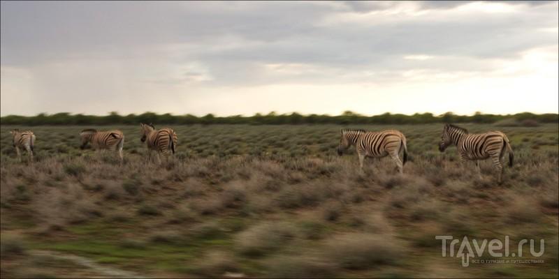Намибия. Этоша и Кейп-Кросс / Фото из Намибии