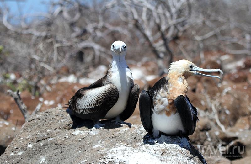 Галапагосские острова. Фрегаты / Эквадор