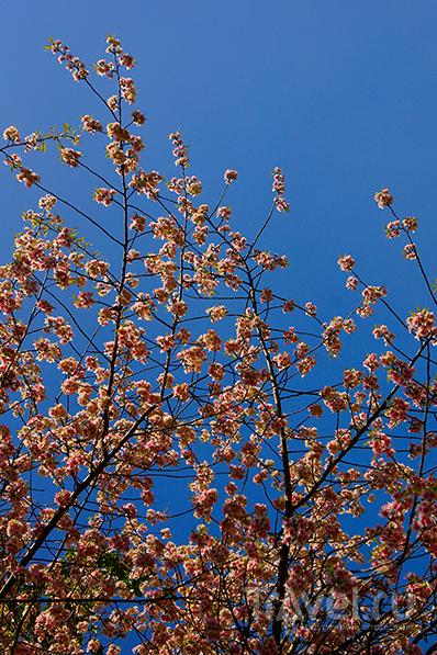 Цветущее дерево / Фото из Непала