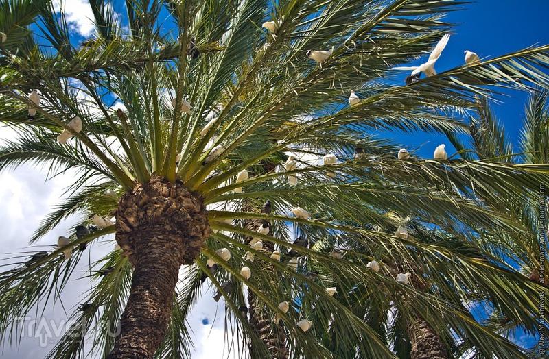 Голуби и пальмы. Эльче, Испания / Фото из Испании