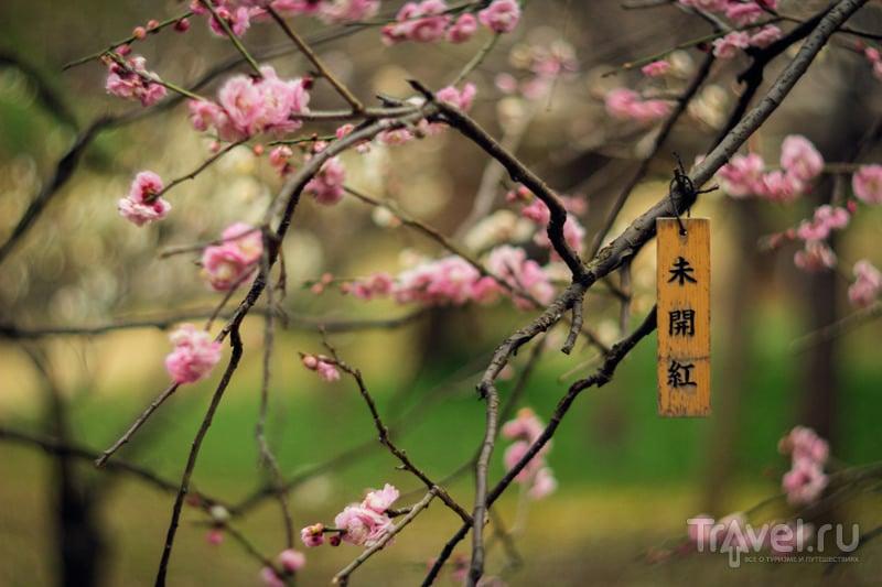 Цветение сливы в парке Koishikawa Korakuen Garden / Япония
