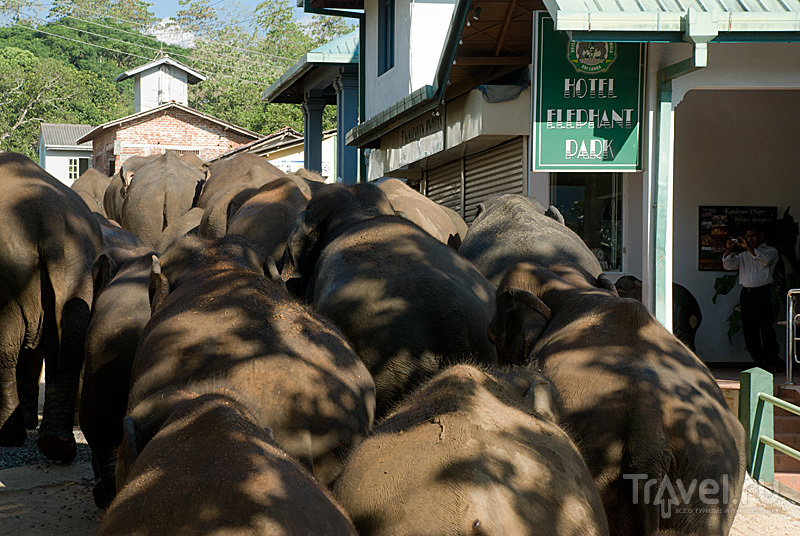 Парк лишних слонов. Пиннавела, Шри-Ланка / Фото со Шри-Ланки