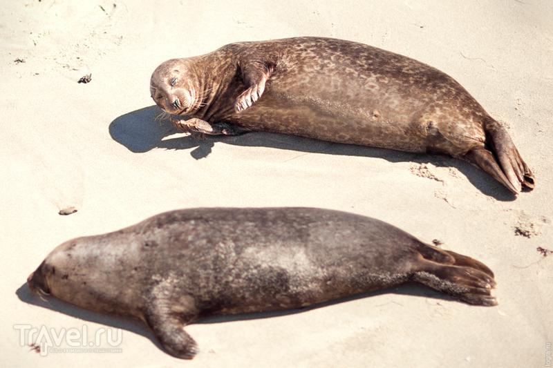 Морские котики Сан-Диего. Калифорния, США / Фото из США