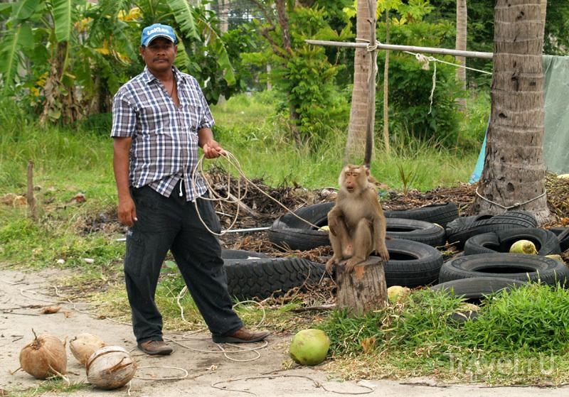 Обезьяна на острове Самуй в Таиланде / Фото из Таиланда
