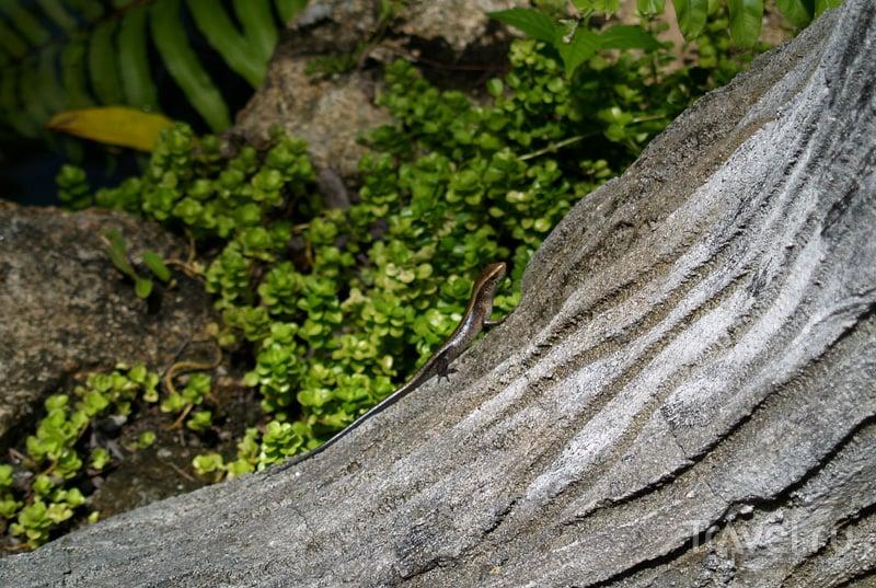 Ящерица на острове Самуй в Таиланде / Фото из Таиланда