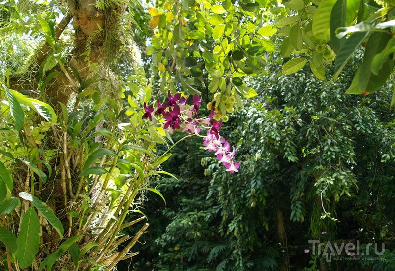 Цветущая орхидея на острове Самуй в Таиланде / Фото из Таиланда