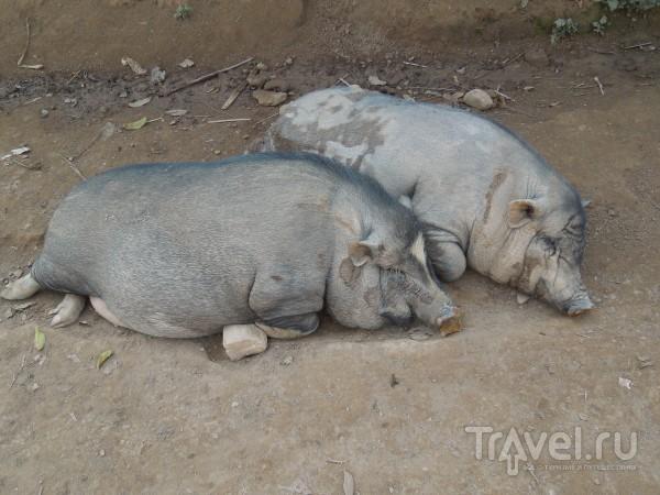 В джунглях Лаоса. Гиббоны / Лаос