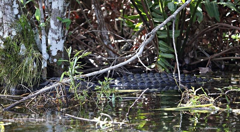 """Эверглейдс - """"Река травы"""" или Болота аллигаторов. Флорида, США / Фото с Виргинских островов (США)"""