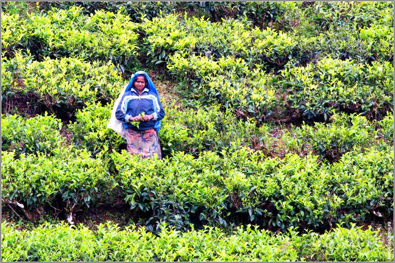 Есть такой аттракцион - фотографировать сборщиц чая / Шри-Ланка