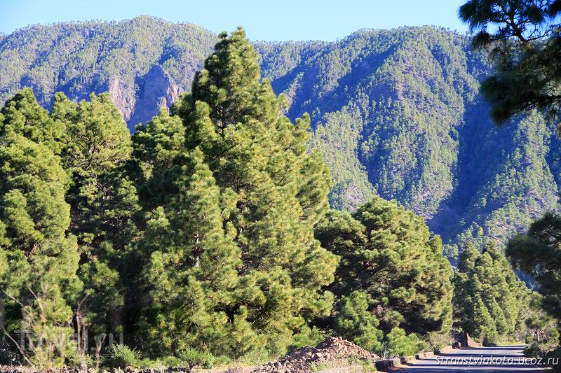 Сосны, пальмы на Ла Пальме / Фото из Испании
