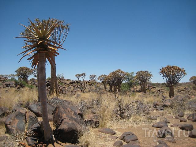 Намибия. Роща колчанных деревьев / Намибия