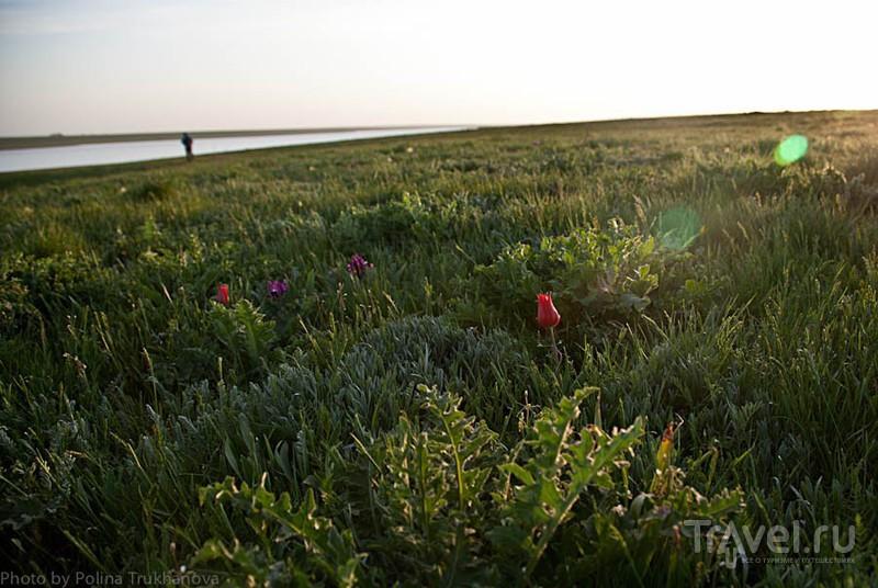 Тюльпановые поля Калмыкии / Россия