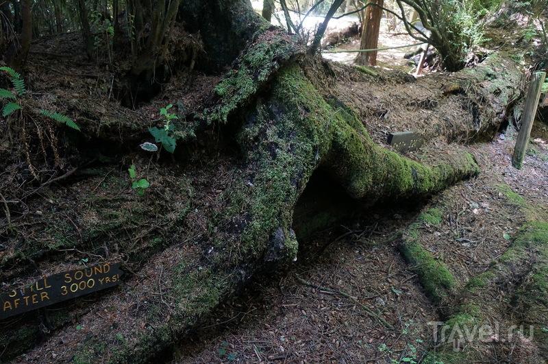 Красный лес (Редвуд) / США