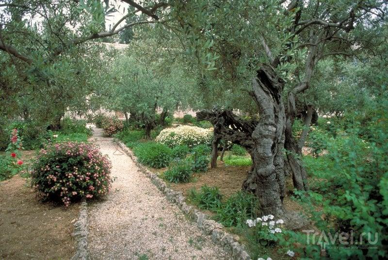 Древние оливы в Гефсиманском саду