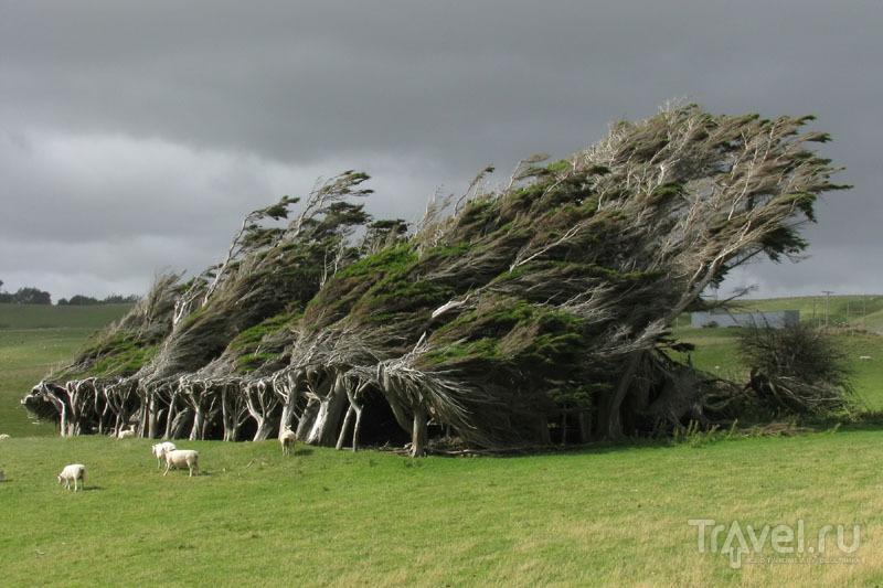 Гнутые деревья на мысе Слоуп-Пойнт / Новая Зеландия