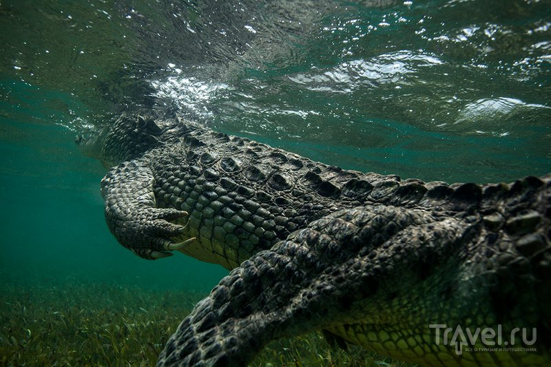 Мексика. Снорклинг с дикими крокодилами / Мексика