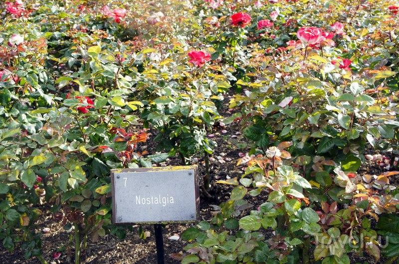 Лондон. Розы Риджентс-парка / Великобритания
