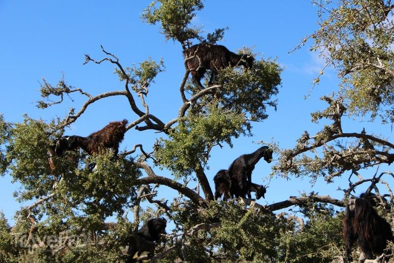 Марокко: летающие (аргановые) козы на деревьях / Марокко
