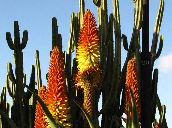 Растительность на Тенерифе
